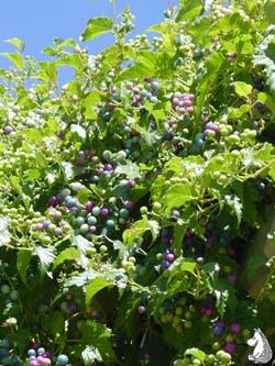 Ампелопсис виноград разнолистный